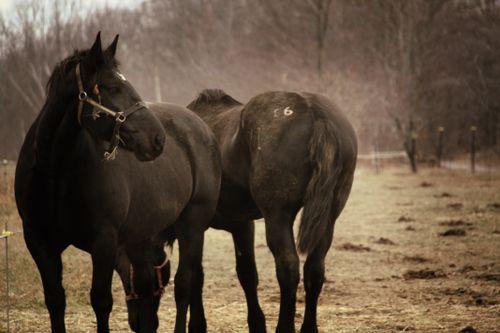 Horsesvintage